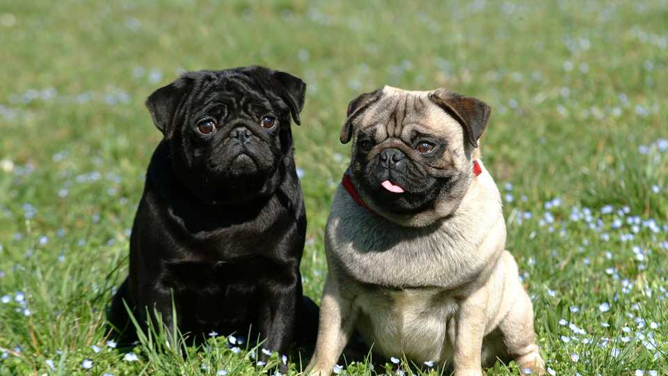 a pop up pug bar is coming to london entertainment heat